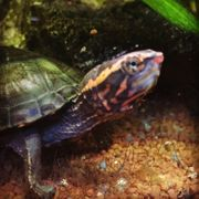 kinosternon cruentatum Rotwangen-Klappschildkröte