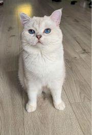 BKH Deckkater mit blauen Augen