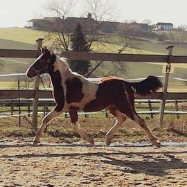 Bild 4 - Pinto Pony Jährling Kleinpferd - Geiselhöring