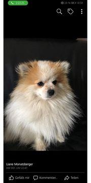 Pomeranian Loui gesucht