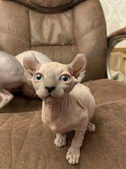 Stammbaum Ahnentafel Kitten Katzenbaby Elf