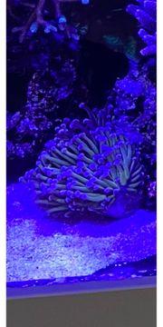Koralle Golden Torch