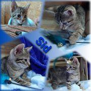 Baby Kater Kitten Sid geimpft