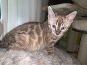 Exklusive Bengal Kitten in tollen