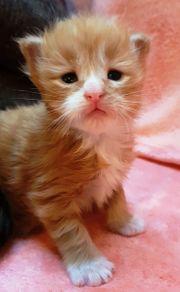 XXL Maine Coon Kitten mit