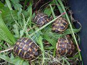 Landschildkröten Korsika - Testudo h hermanni