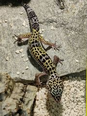 Leopardgeckos NZ 2021