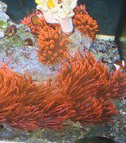 Blasenanemone Quadricolor Rot