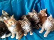 Fantastische Maine-Coon-Kätzchen verfügbar