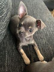 mini chihuahua blau