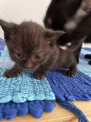 Russisch blau BKH Edelmix Kitten