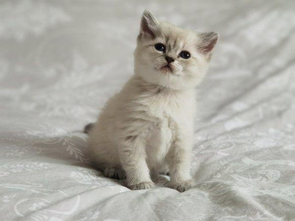 Bkh Kitten silver point blaue Augen