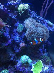 Falscher Clownfisch Anemonenfisch