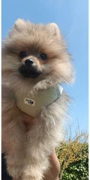 Reinrassige Mini Pomeranian Boo Zwergspitz