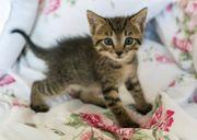 Babykatze 10 Wochen alt