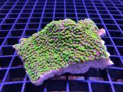 Montipora Hofmeisteri Korallenableger Korallen meerwasser