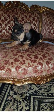 Französische Bulldoge Welpen Lilac Schoco