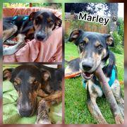 Wunderschöner Rüde Marley 10 Monate