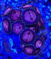 Meerwasser Zoanthus Pink M
