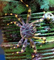 Suche Percnon gibbesiAlgen Krabbe Meerwasser
