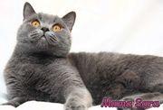 Kitten reinrassige BKH Kätzchen
