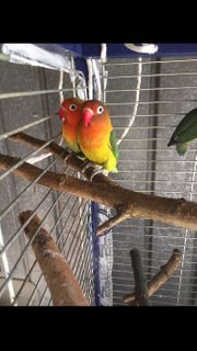 Agaporniden Pfirsichköpfchen Unzertrennliche zwergpapagei Lovebirds