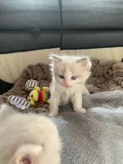 männliches kitten