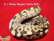 Schickes Woma Mojave YB Weibchen