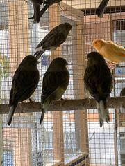 Kanarienvögel Gloster und Fiorinos
