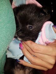 Pomeranian pomchi wir dürfen besucht