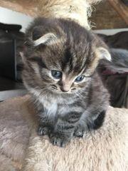 Süßes Scottish Fold BKH Kätzchen