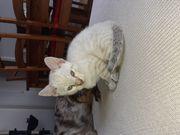 Bengal Kitten sofort abgabebereit