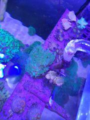 korallen ableger lps sps krusten