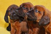 BGS Bayrischer Gebirgsschweißhund Welpen