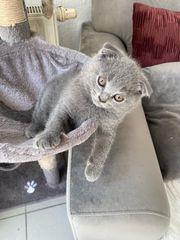 Bkh Kitten mit klappohren noch