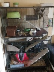 4er gruppe ratten weibchen in