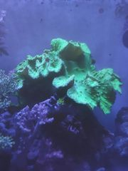 Leder- Weich- Koralle Meerwasser