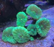 Korallen SPS LPS und weiche