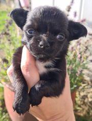 Chihuahua Rüde mit Ahnentafel