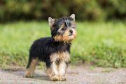 Suchen Yorkshire Terrier Welpe Weibchen