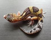 Leopardgecko 0 1 Tangerine Eclipse
