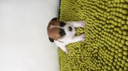 Jack Russell MIX Chihuahua Welpen