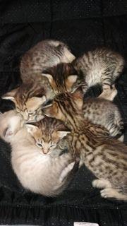 Wunderschöne Maine Coon Siam Kitten