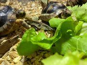 Schildkröte Breitrand NZ 2020