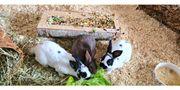 Zwergrex Kaninchen anzugeben