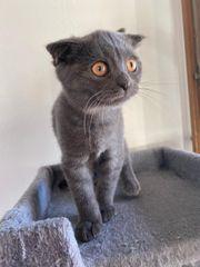 BKH Baby Katzen
