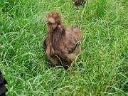 10 Große Seidenhühner Schoko Hahn