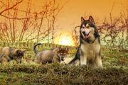 Hybridwelpen Tschech Wolfhund Alaskan Malamute