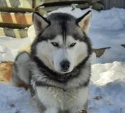 Sibirien Husky Deckrüde