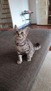 Reinrassige BKH Wiskas Kitten abzugeben